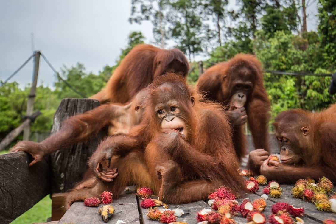 Orangutan Jungle School Adoption Center